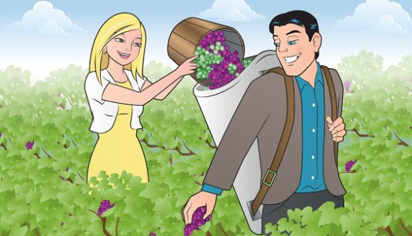 Grape harvesting couple in vineyards